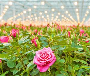 Bloementeelt gaat niet altijd over rozen