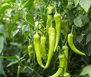 Mogelijk octrooi op pepers hot topic voor kwekers