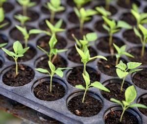geen patent op planten verkregen uit kruizen en selecteren